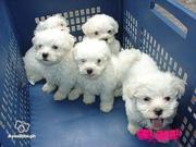 Maltese Puppies For Free Adoption -